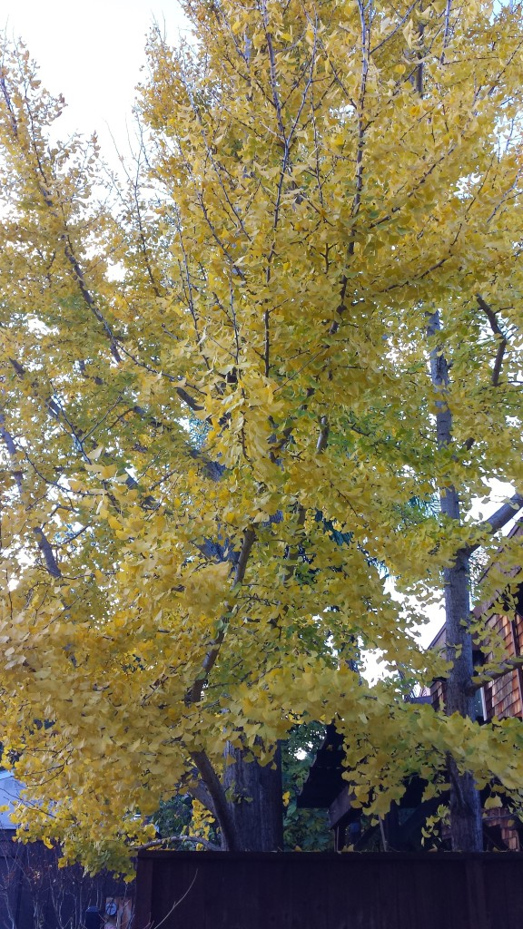 Not quite sure what kind of tree this is, but the yellow leaves provide a nice contrast to the landscape.
